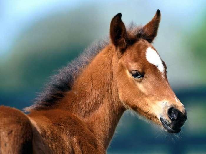 Жеребенок, фото лошади картинка фотография