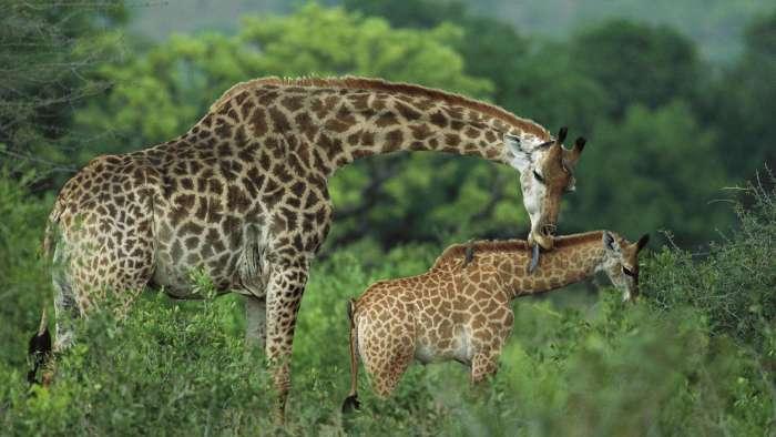 Жирафиха с жирафенком, фото картинка фотография