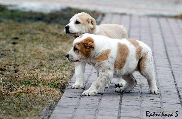 Щенки среднеазиатской овчарки, фото собаки, фотография породы собак