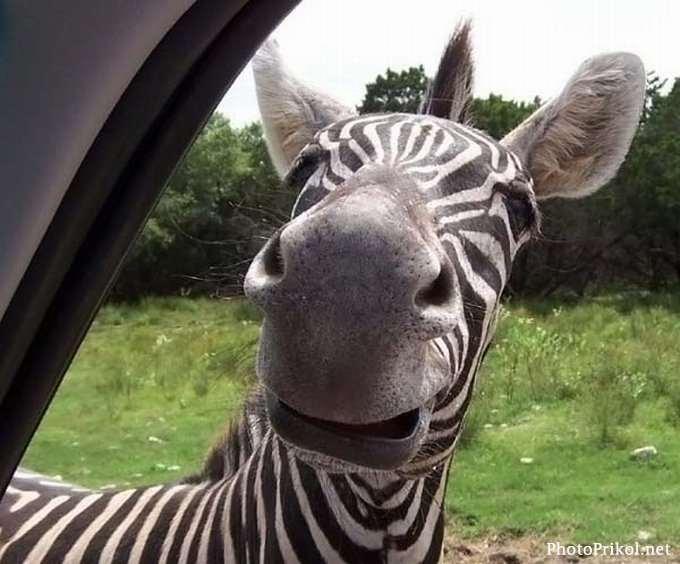 Зебра, заглядывающая в окно машины, фото обои, фотография картинка