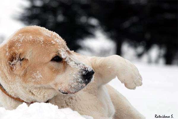 Среднеазиатская овчарка на снегу, фото собаки, фотография породы собак