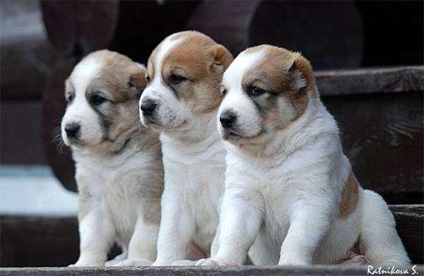 Щенки среднеазиатской овчарки, фотография собаки, фото породы собак