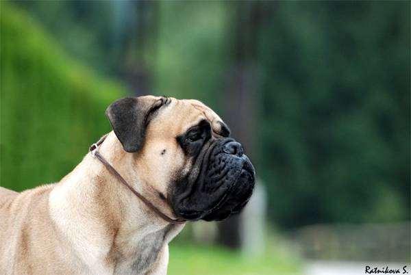 Бульмастиф, фото собаки, породы собак фотография