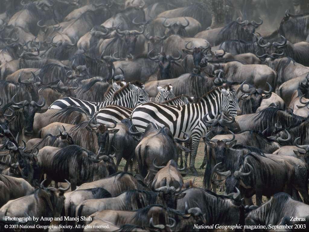 Зебры и антилопы гну, фото картинка копытные животные фотография