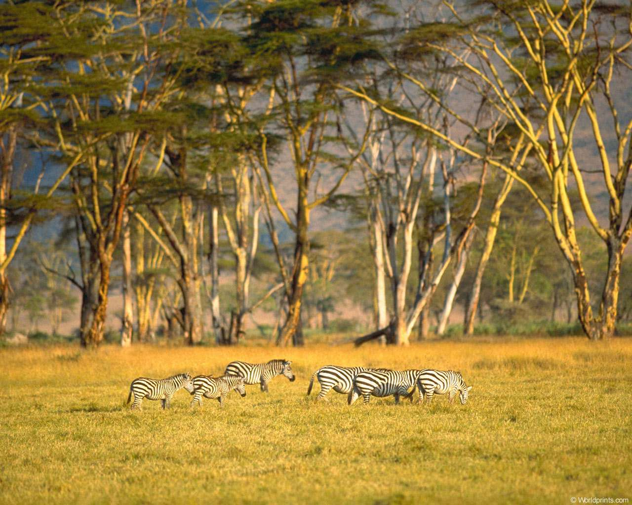 Среда обитания зебры, фото обои, фотография картинка