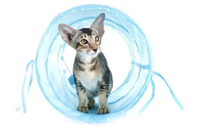 Ориентальная кошка, фото фотография картинка