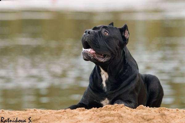 Кане корсо, собаки фото, породы собак фотография