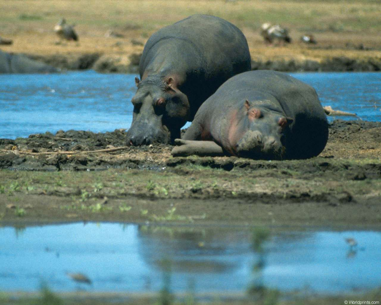 Бегемоты (Hippopotamus amphibius), фото новости о животных фотография