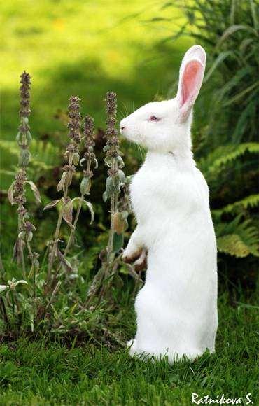 Белый кролик, фото грызуны фотография