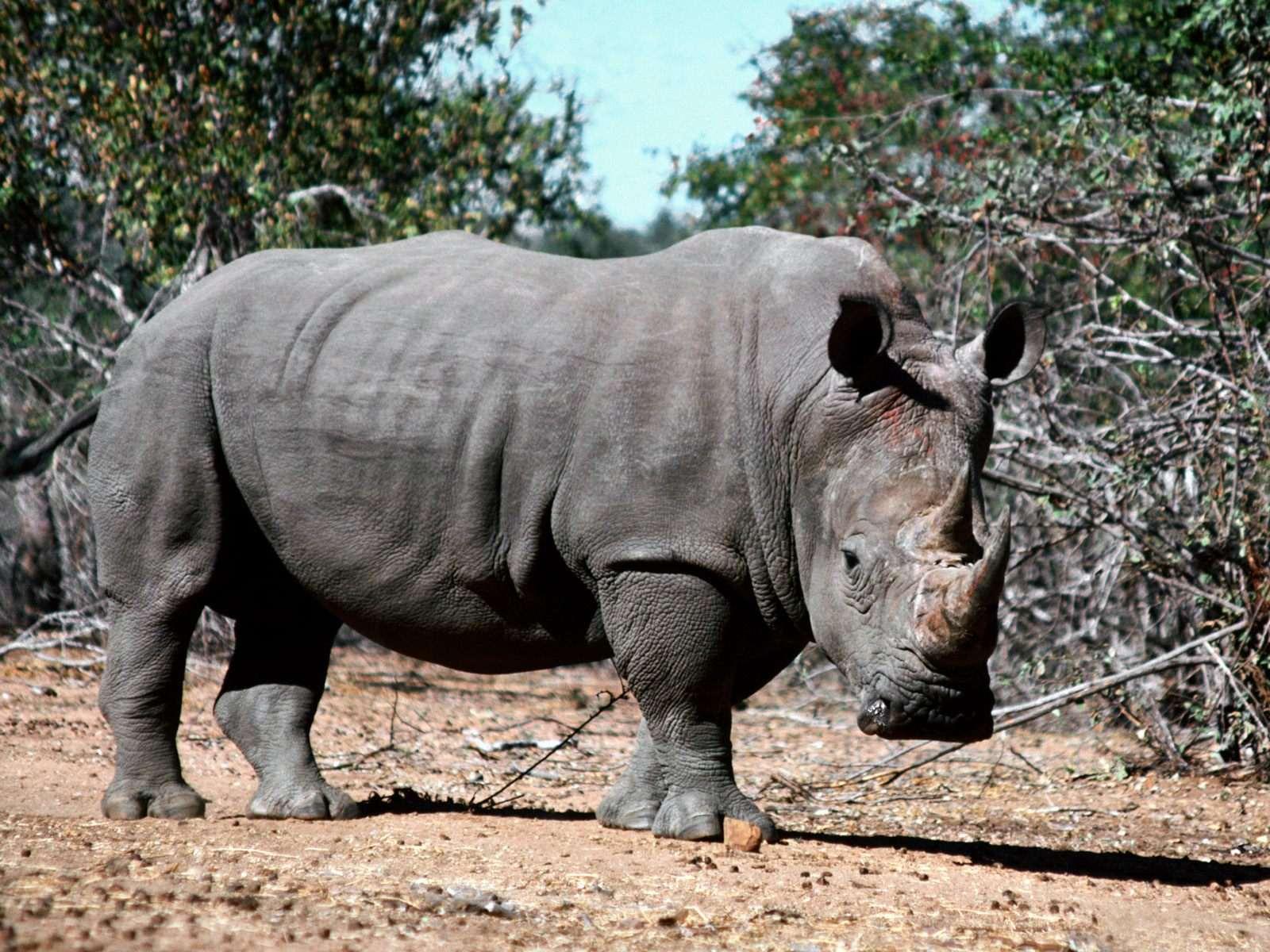 Черный носорог (Rhinoceros bicornis), фото непарнокопытные животные картинка