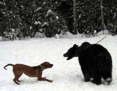 Родезийский риджбек и медведь, фотография собаки, фото породы собак
