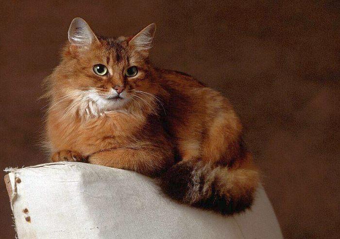Сомалийская кошка, сомали, фото фотография