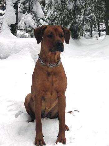 Родезийский риджбек на снегу, фото собаки, породы собак фотография