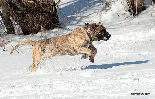 Канарский дог, канарская собака, собаки фото, фотография породы собак