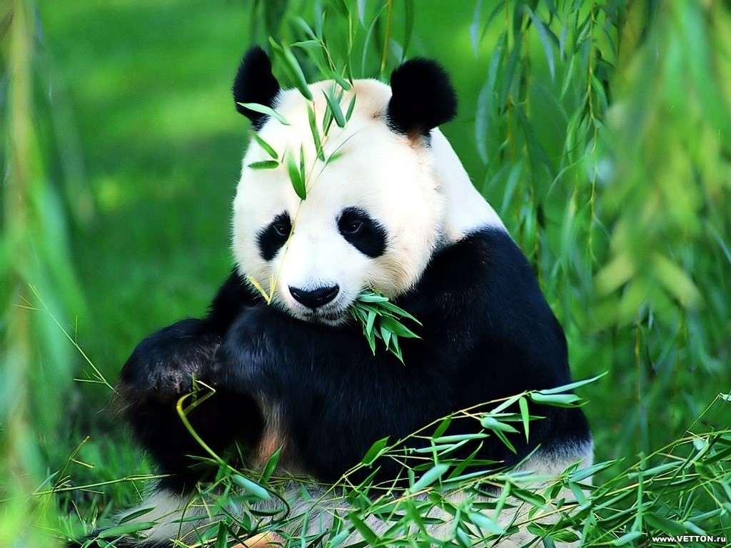 Виды панд гигантская панда фото