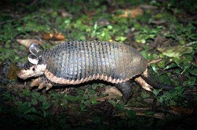 Центральноамериканский броненосец (Cabassous centralis) фото неполнозубые фотография