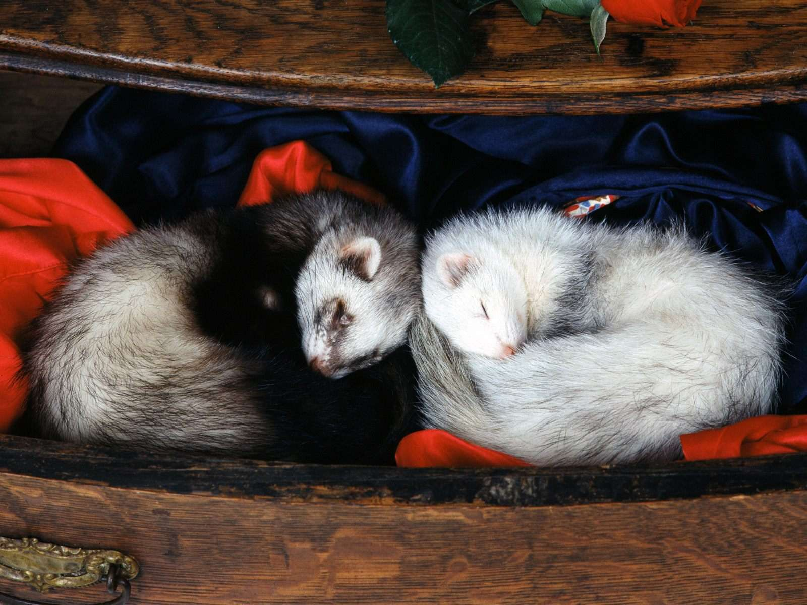 Спящие хорьки фретки самые животные