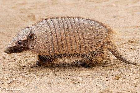 Бурощетинистый, или щетинистый броненосец (Chaetophractus villosus), фотография неполнозубые фото
