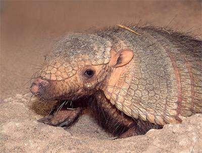 Бурощетинистый, или щетинистый броненосец (Chaetophractus villosus), фото неполнозубые фотография дикие животные