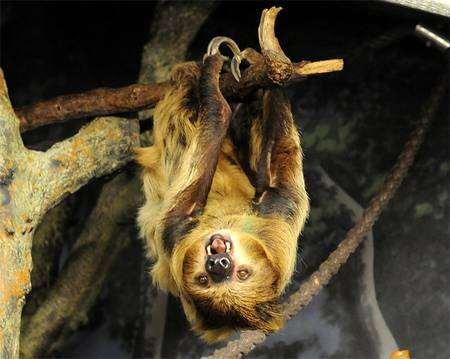 Двупалый ленивец, унау (Choloepus didactylus), фото неполнозубые фотография дикие животные