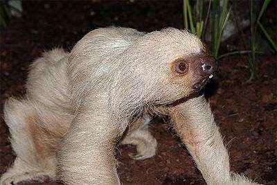 Ленивец Гоффмана (Choloepus hoffmanni), фото неполнозубые фотография дикие животные