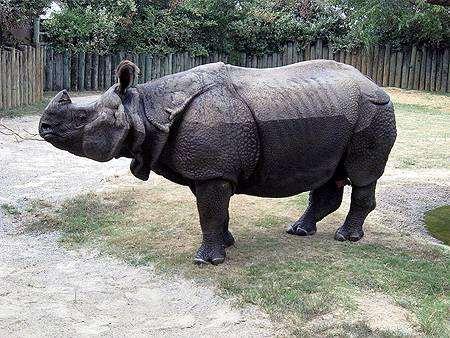 Индийский носорог (Rhinoceros unicornis), фото непарнокопытные фотография животные