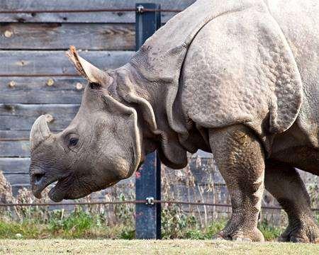 Индийский носорог (Rhinoceros unicornis), фотография непарнокопытные фото