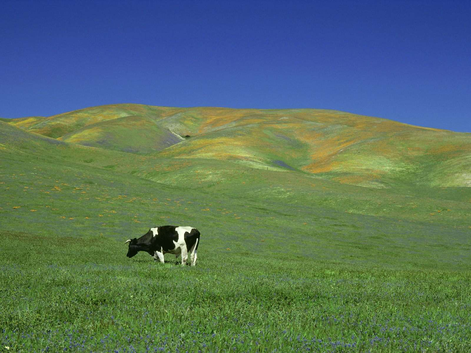 Сколько стоит дойная корова фото