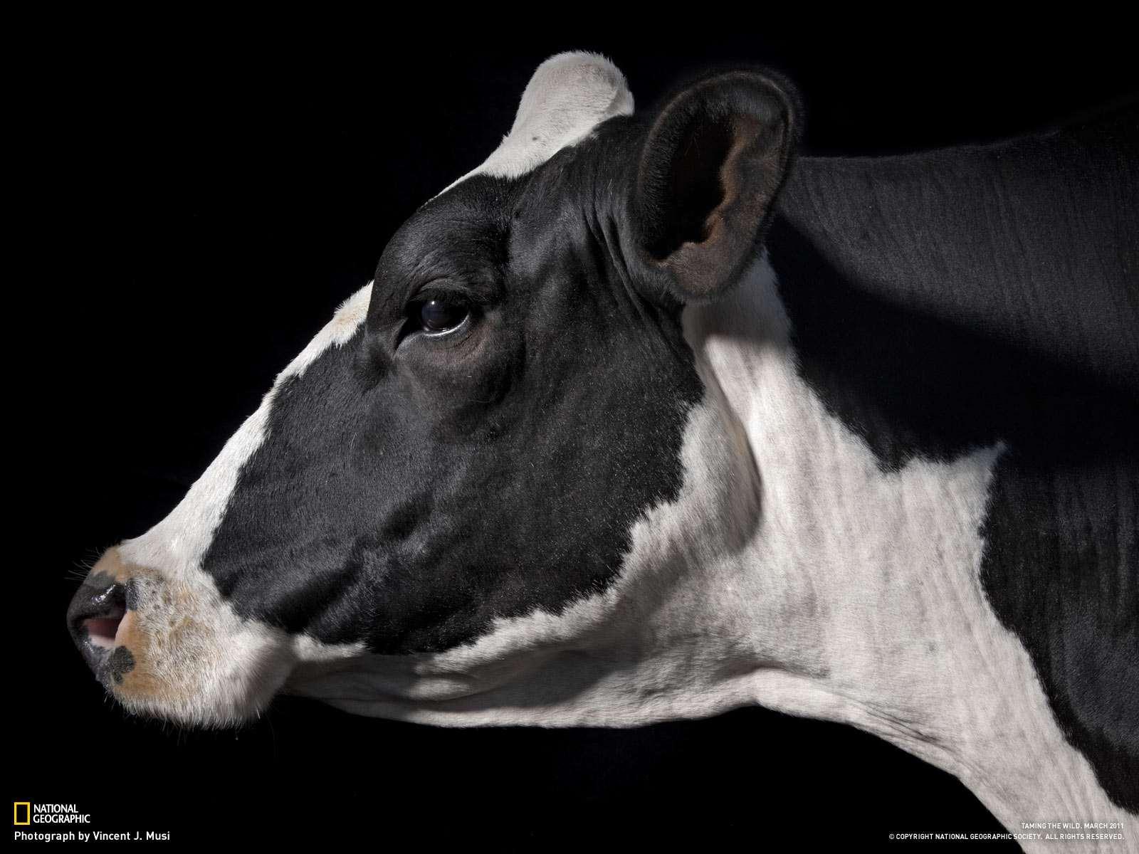 корова и бык фото