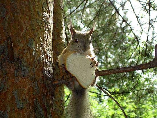 Белка есть хлеб, белка сидит на дереве, грызуны фото фотография