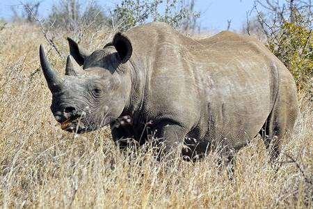 Черный носорог (Rhinoceros bicornis), фото непарнокопытные фотография дикие животные