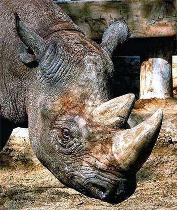 Черный носорог (Rhinoceros bicornis), фотография непарнокопытные фото