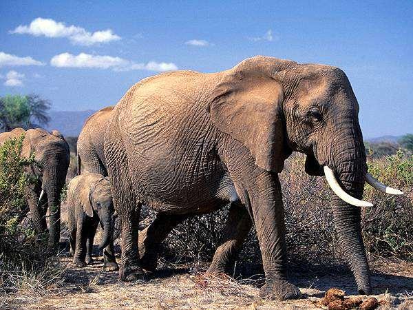 Африканские слоны (Loxodonta africana), фото хоботные слоны фотография