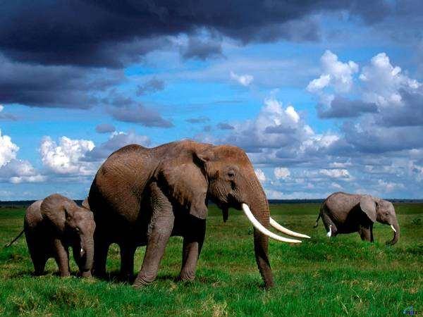 Африканские слоны (Loxodonta africana), фото дикие животные фотография хоботные