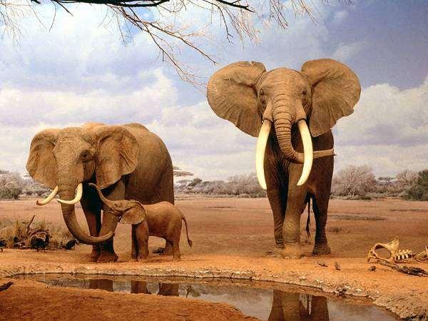 Африканские слоны (Loxodonta africana), фотография хоботные, фото дикие животные изображение