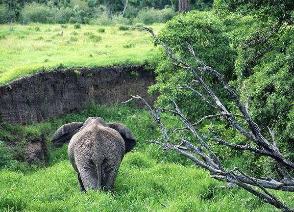 Африканский слон (Loxodonta africana), фотографии хоботные фото