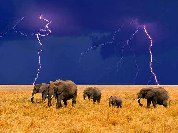 Африканские слоны во время грозы (Loxodonta africana), фото дикие животные хоботные фотография