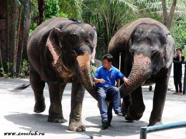 Азиатские слоны, фото фотография хоботные
