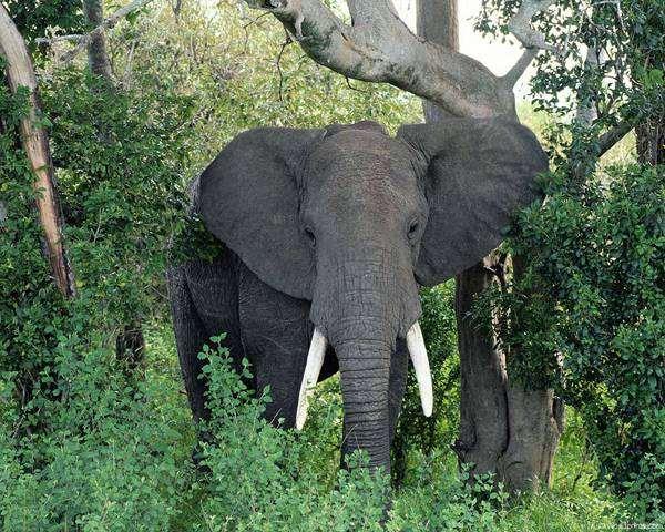 Африканский слон, фото хоботные фотография