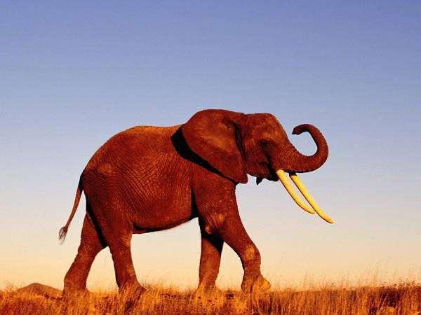 Африканский слон, фотография хоботные фото