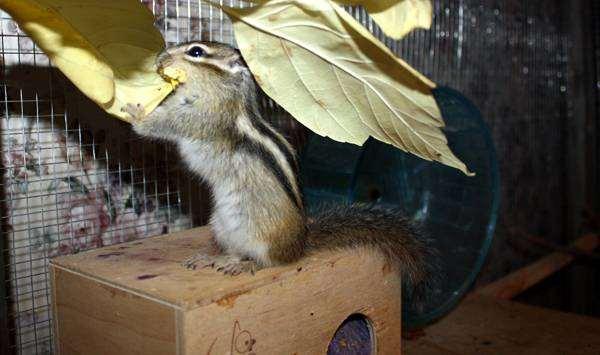 Бурундук, фото содержание бурундуков грызуны фотография