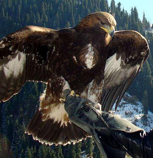 Орел-беркут (Aquila chrysaetos), фото птицы фотография