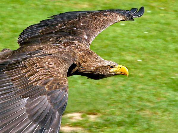 Беркут в полете (Aquila chrysaetos), фото хищные птицы фотография