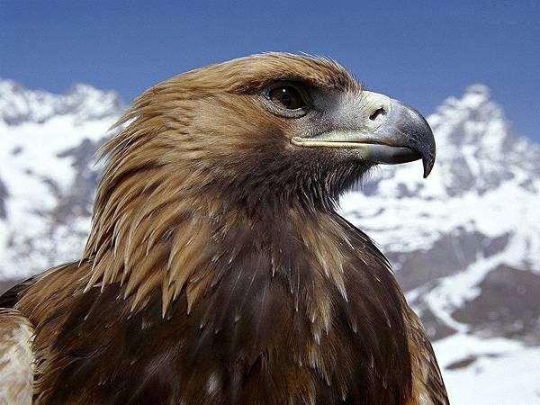 Голова беркута (Aquila chrysaetos), фото хищные птицы фотография