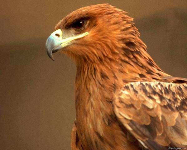 Беркут (Aquila chrysaetos), фотография птицы фото