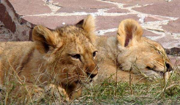 Львята, фото фотографи хищные животные