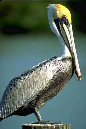 Пеликаны pelecanidae птенец великана вес масса объем пищи  Бурый пеликан pelecanus occidentalis фото фотография птицы
