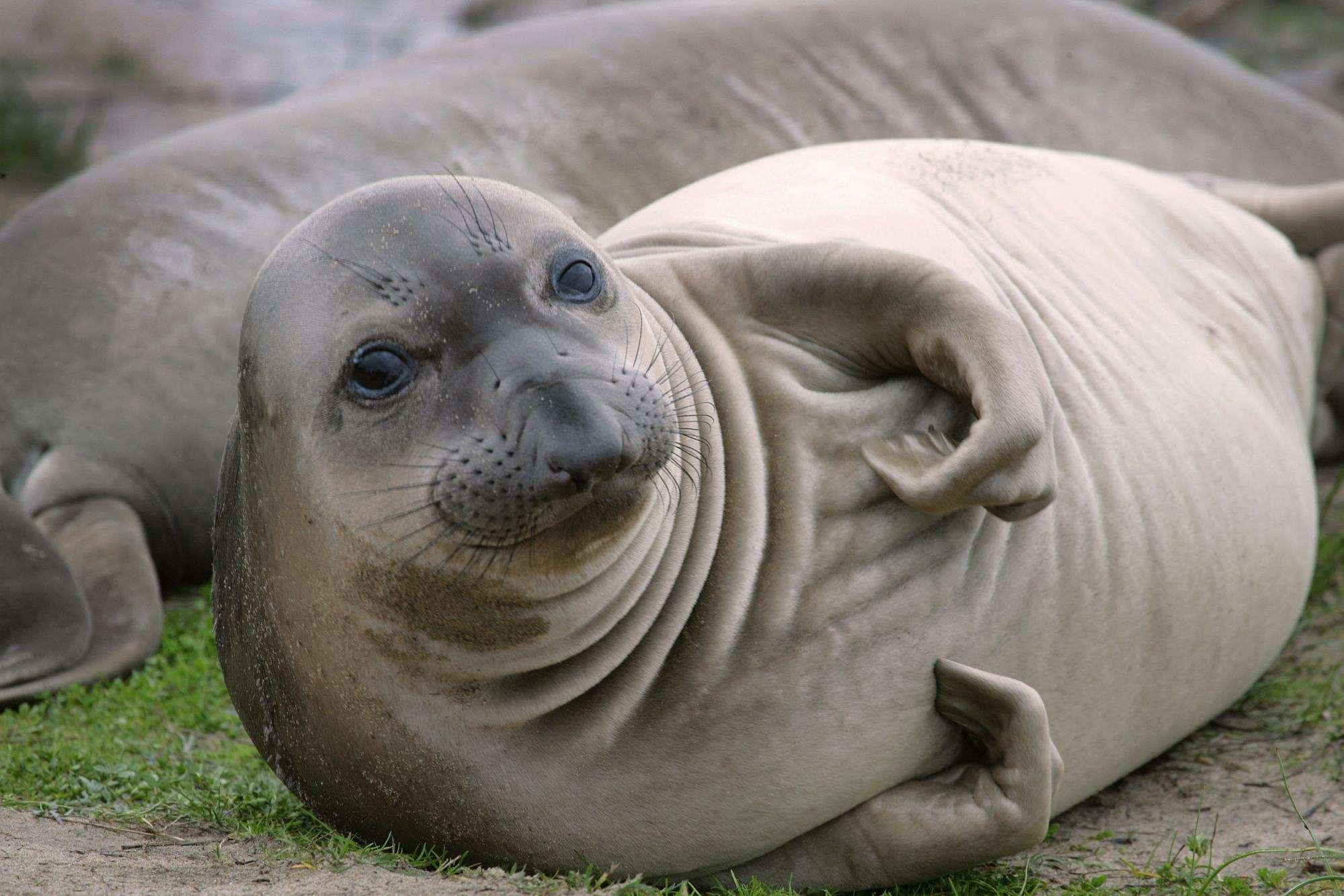 Морской слон (Mirounga), фото морские млекопитающие фотография