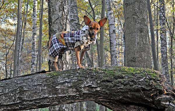 Той-терьер на прогулке, фото собаки, фотография породы собак