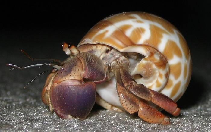 Карибский рак отшельник (Coenobita clypeatus), фото фотография ракообразные